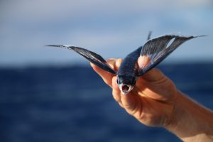 Flying fish commit suicide by leaping onto deck every night