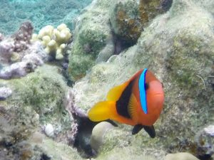 One of the resident clown fish