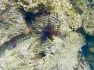Lion fish that lives under our dock