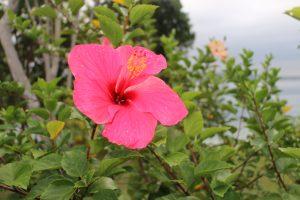Hibiscus everywhere