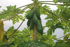 Papaya trees grow wild everywhere
