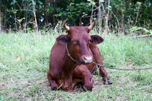 Our resident village steer.