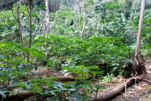 A typical Ni-Van jungle garden. Slash and burn patches in the middle of the jungle produce lots of fruit.