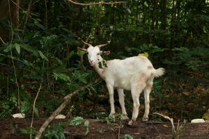 Goats are often tied on the side of the road. At least once a day, I'm in the bush untangling them from the branches.
