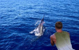 Jonas on the wire with 150 kg Blue Marlin