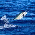 Sailfish, marlin, blue marlin, vanuatu sport fishing, vanuatu charter fishing, vanuatu marlin fishing