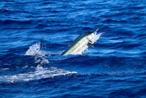 Sailfish gives up a show