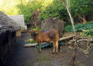 Vanuatu village, cow, Vanua lava