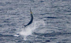 Jumping Blue Marlin