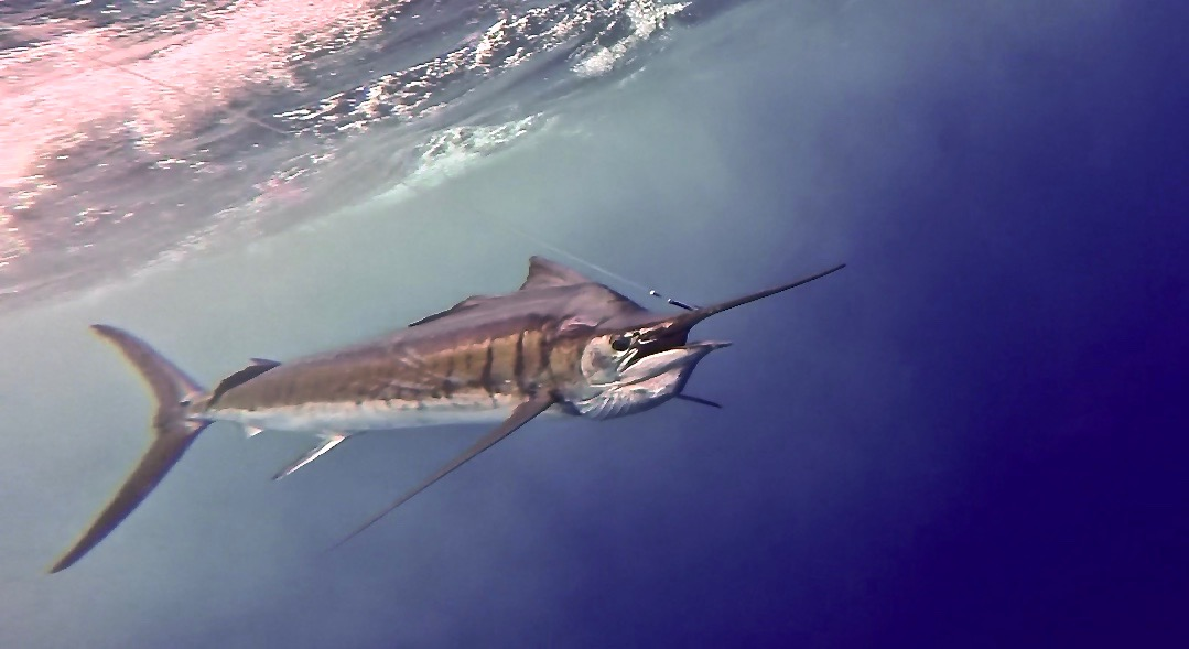 Sailfish on the leader