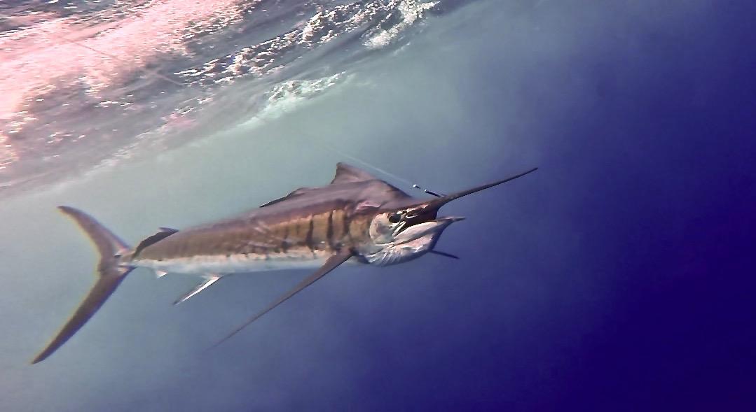Sailfish on the leader