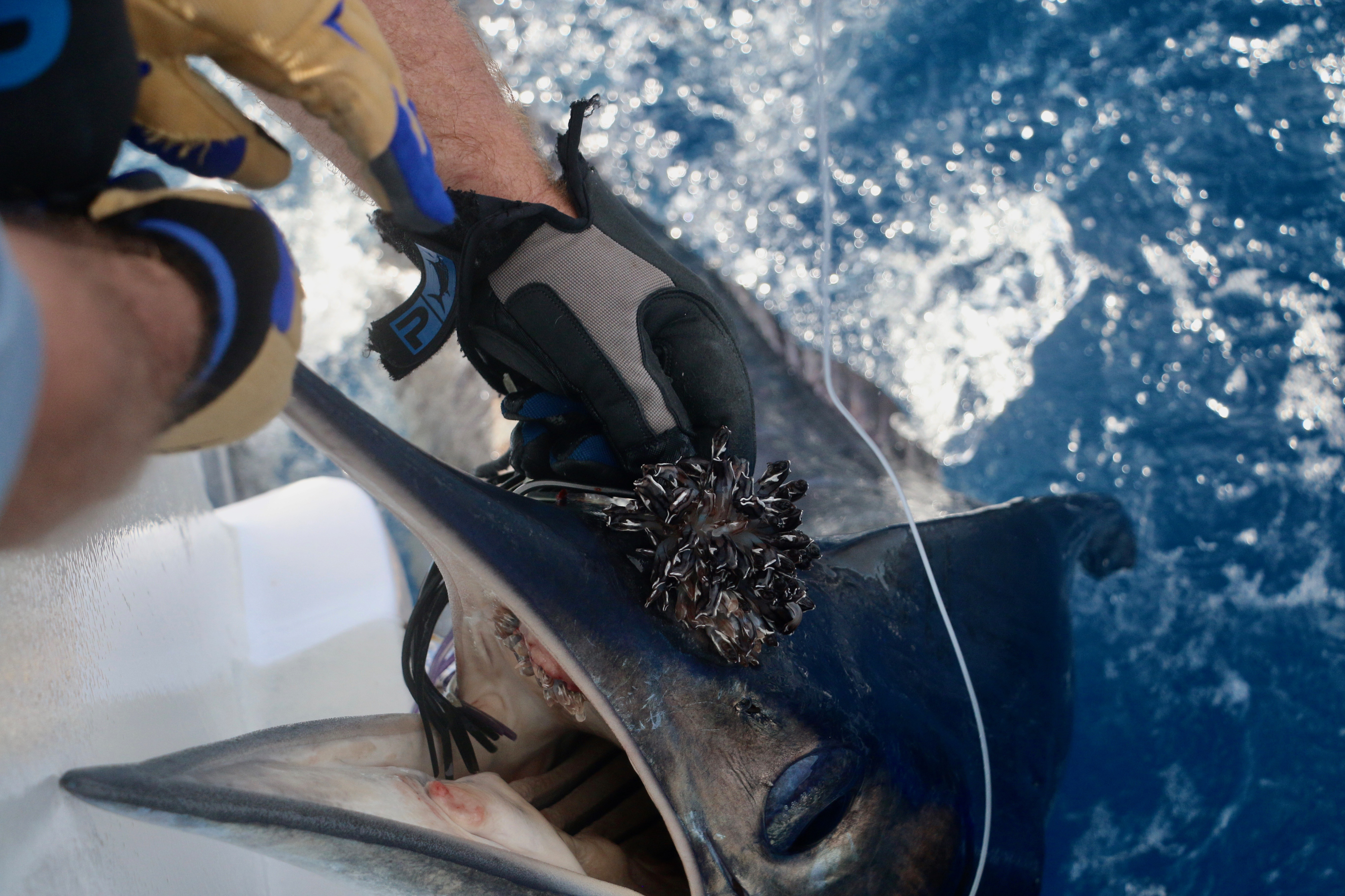 Abnormal growth on striped marlin