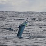 Whanganella Banks, November Rain, sport fishing new zealand
