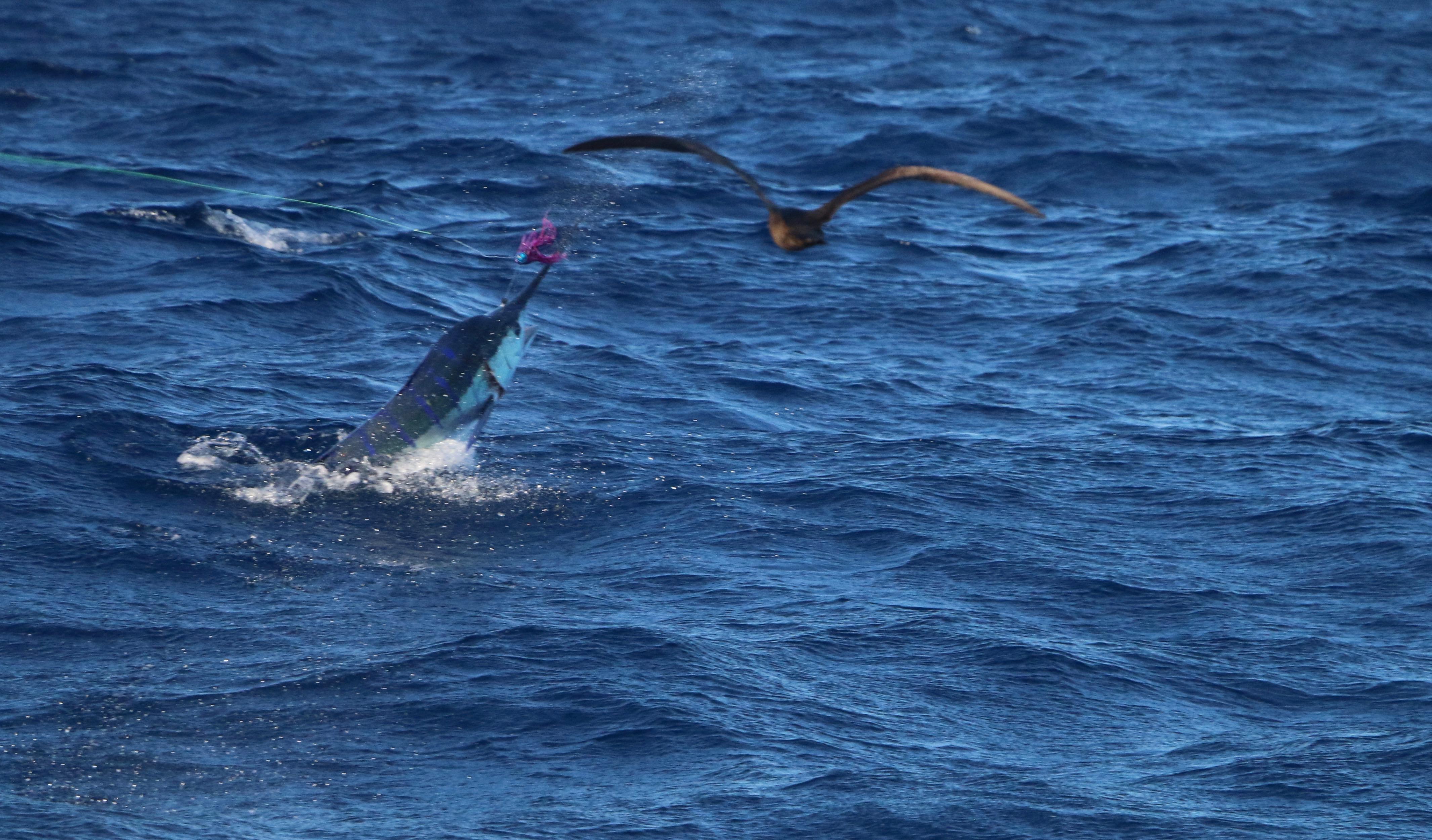 Whanganella banks, striped marlin, new zealand marlin fishing, november rain sports fishing,