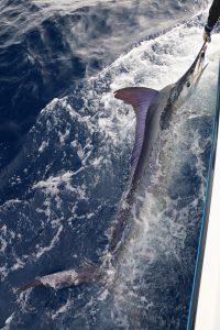 fishing, striped marlin, november rain, whanganella banks, new zealand