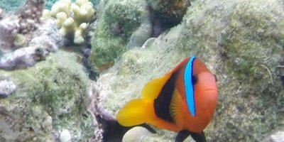 Clown fish vanuatu