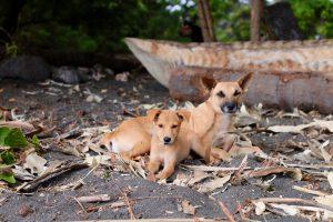 village dogs vanuatu