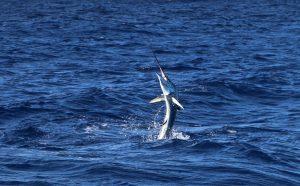 Marlin Vanuatu