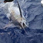 blue marlin, marlin, vanuatu sport fishing, vanuatu game fishing