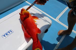 red coral trout, sport fishing, vanuatu, game fishing vanuatu