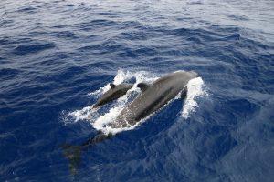 Pilot Whales Vanuatu