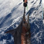 Fishing Vanuatu Billfish Blue Marlin
