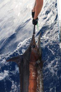 Fishing Vanuatu Billfish Blue Marlin