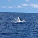 Black Marlin, Great Barrier Reef