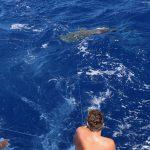 Tiger Shark, Great Barrier Reef