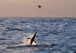 Marlin, Whanganella Banks