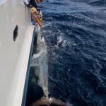 striped marlin, whanganella banks,
