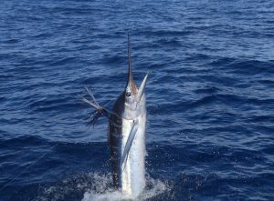 Whanganella Banks, Striped Marlin, New Zealand, November Rain