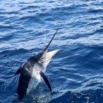 Striped Marlin, whanganella banks, november rain, new zealand, striped marlin