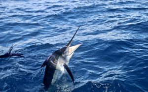 Striped Marlin, whanganella banks, november rain, new zealand, striped marlin