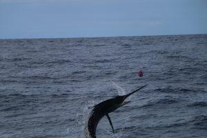 Whanganella Banks, november rain, new zealand sport fishing, striped marlin