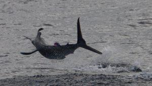 Whanganella, sport fishing, striped marlin, new zealand, November rain,