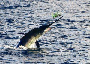 striped marlin, november rain, new zealand, sport fishing, whanganella,